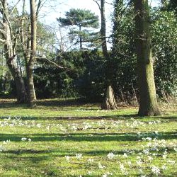 Picture Of Blooming marvellous snowdrop display in Pinner park